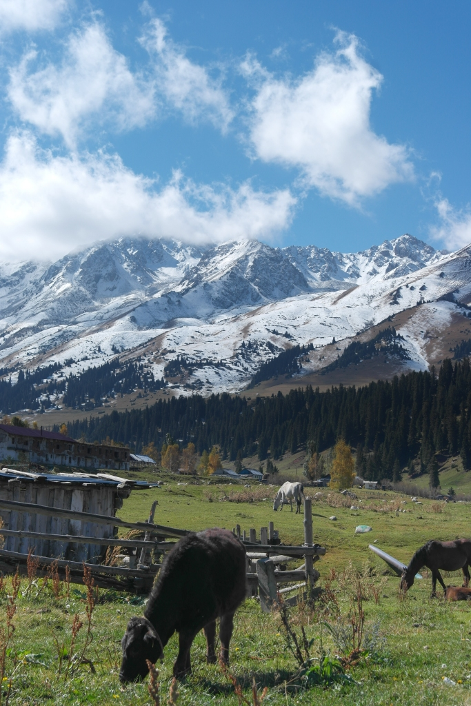 Jyrgalan valley town white mountains cow