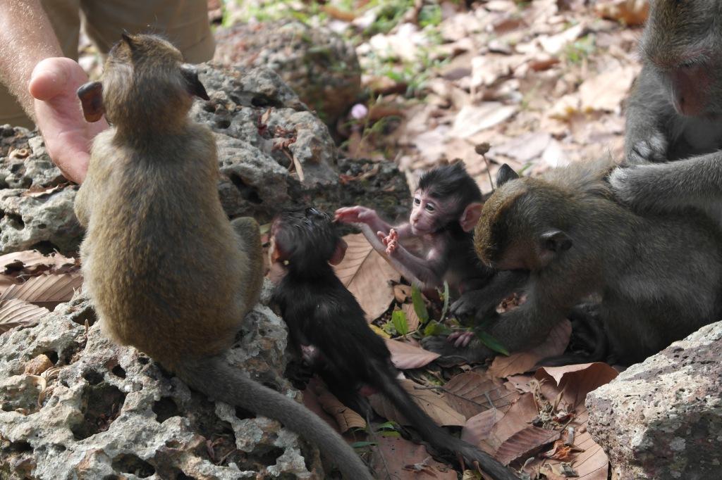 baby monkeys cambodia asia